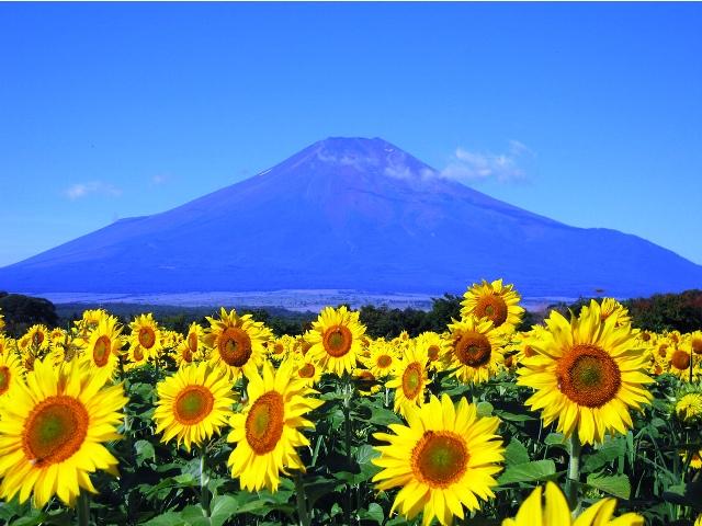 Surga Taman Bunga Matahari