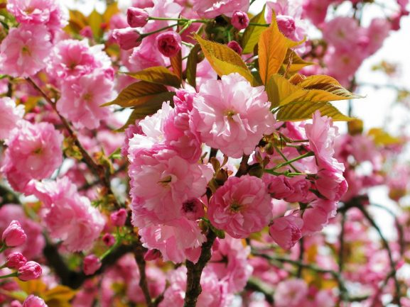 Jenis Varietas Bunga Sakura