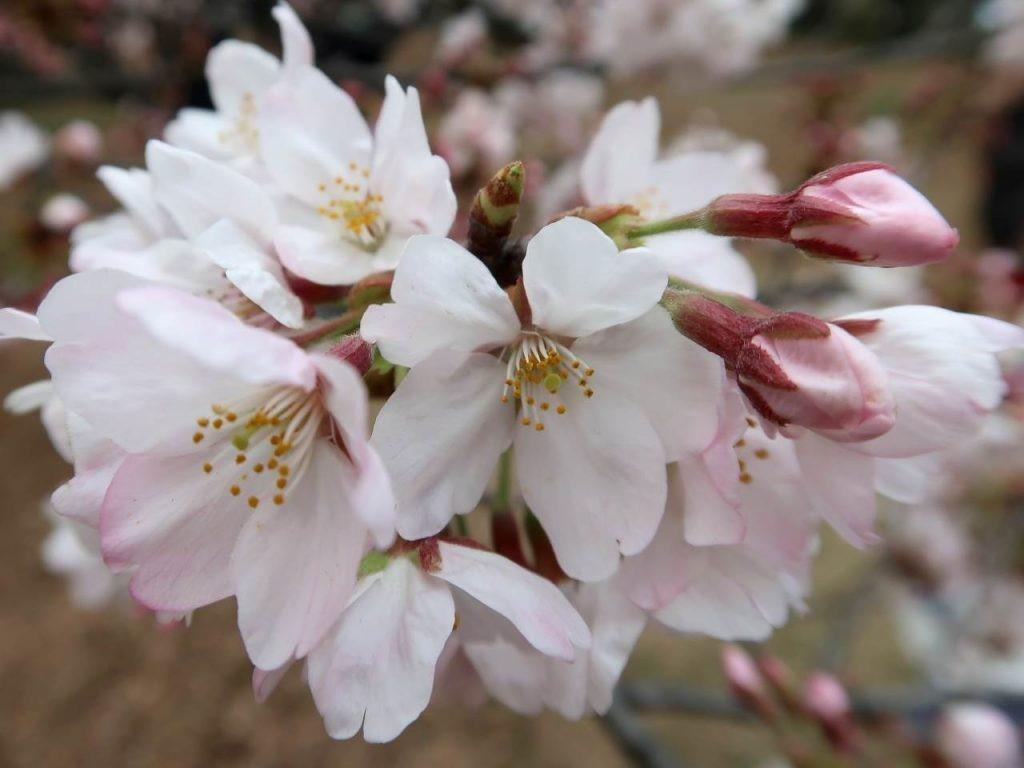 Menyambut Datangnya Musim Semi Di Jepang Melalui Perayaan Hanami